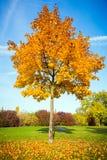 Autumn maple tree Royalty Free Stock Image