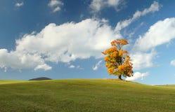 Autumn maple tree. Fancy maple tree in autumn Stock Image