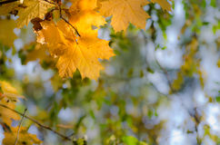 Autumn maple tree in forest Royalty Free Stock Photo