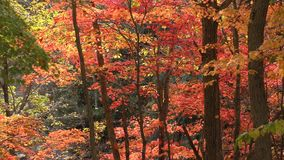 Autumn maple tree stock video footage