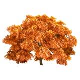 Autumn Maple Tree Isolated Fotografia Stock