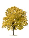 Autumn maple tree isolated white background. Autumn maple tree isolated on white background. Yellow leaves Stock Image