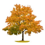 Autumn maple tree isolated on white background. Yellow red green leaves. Nature object royalty free stock images