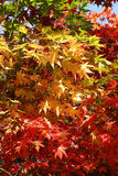 Autumn maple tree leaves. Changing colours of a maple tree Royalty Free Stock Photography