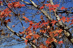 Autumn maple tree leaves Royalty Free Stock Photography