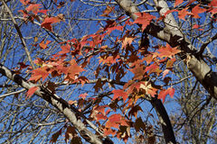 Autumn maple tree leaves Royalty Free Stock Images