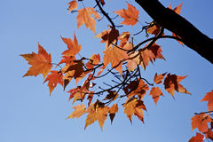 Autumn maple tree leaves Stock Image
