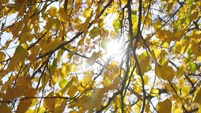 Autumn maple tree leaves swaying in the wind, sun glare sunlight. Autumn maple tree leaves swaying in wind, sun glare sunlight stock video footage