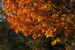 Autumn maple tree with red orange leaves on the background of green trees at the park. Sunny day Stock Image