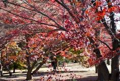 Autumn Maple Tree In Shinjuku Gyoen nationell tr?dg?rd, Shinjuku, Tokyo, Japan arkivbild