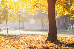 Autumn maple tree in sunny fall morning Stock Images