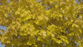 Autumn maple tree stock footage