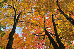 Autumn maple trees. Beautiful maple trees with red foliage in early fall Stock Photos