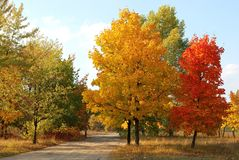 Autumn maple trees. Of yellow and red colors Royalty Free Stock Photography