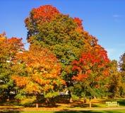 Autumn maple trees in fall city park. Autumn maple trees in a fall city park royalty free stock photography