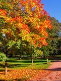 Autumn maple trees in fall city park. Autumn maple trees in a fall city park royalty free stock photos