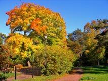Autumn maple trees in fall city park. Autumn maple trees in a fall city park stock photos