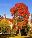 Autumn maple trees in fall city park. Autumn maple trees in a fall city park stock image