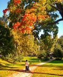 Autumn maple trees in fall city park. Autumn maple trees in a fall city park stock photography