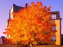 Autumn maple trees in fall city park. Autumn maple trees in a fall city park stock photo