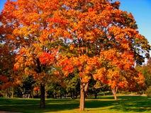 Autumn maple trees in fall city park. Autumn maple trees in a fall city park royalty free stock images