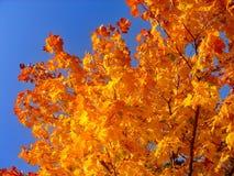 Autumn maple trees in fall city park. Autumn maple trees in a fall city park stock images