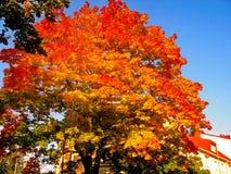 Autumn maple trees in fall city park. Autumn maple trees in a fall city park royalty free stock photo