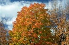 Autumn Maple Trees - festa del fogliame Immagine Stock
