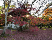 Autumn maple trees garden at sunset. Autumn maple trees garden at the Japanese bell tower in kinkakuji temple, Kyoto, Japan royalty free stock images