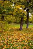 Autumn maple trees in the park Stock Photos