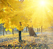 Autumn maple trees in  park Royalty Free Stock Photos