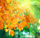 Autumn maple trees in park and sunshine Royalty Free Stock Photo