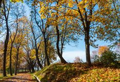 Autumn maple trees in park. Autumn yellow maple trees in sunny city park royalty free stock image
