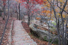Autumn maple trees and path. Yellow leaves of autumn maple trees, covered with the ground. Branches leaves has almost completely lost, a man through the woods royalty free stock photo
