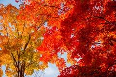 Autumn maple trees royalty free stock photo