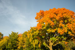 Autumn maple trees stock image