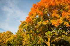 Autumn maple trees royalty free stock photos