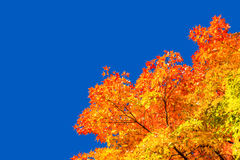 Autumn maple trees with red leaves. Against pure blue sky in Montreal, Quebec, Canada stock photo