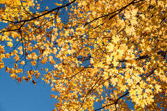 Autumn maple trees royalty free stock photography