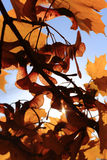 Autumn Maple Twigs and Leaves. Maple leaves and twigs in a beautiful autumn day Royalty Free Stock Photo