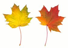 Free Autumn Maple Two Leaves Stock Photography - 1341312