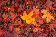 Autumn maple in warm colors Stock Photography