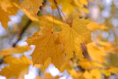 Autumn. Maple yellow fall leave Stock Images