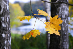 Autumn. Maple yellow fall leave Stock Photo