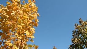 Autumn maple with yellow leaves. On the background blue sky stock footage