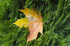 Autumn. Maple yellow leaves on the background of green needles o. F arborvitae Stock Photography