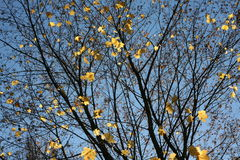 Autumn maple. Autumn yellow maple leaves on blue sky background sanny day royalty free stock photography