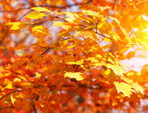 Autumn Maple Yellow Leaves. Fall Background Royalty Free Stock Photos
