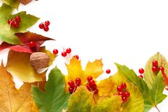 Autumn maple yellow leaves isolated on white background Royalty Free Stock Photos