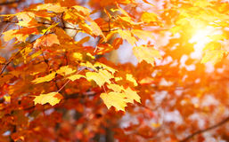 Autumn Maple Yellow Leaves. Outdoor. Fall Stock Photos